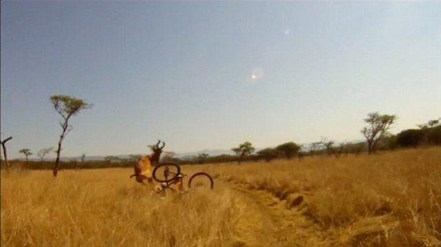 human vs antelope 5 Куда прешь, человече? Чудовищное столкновение велосипедиста с 200 килограммовой антилопой