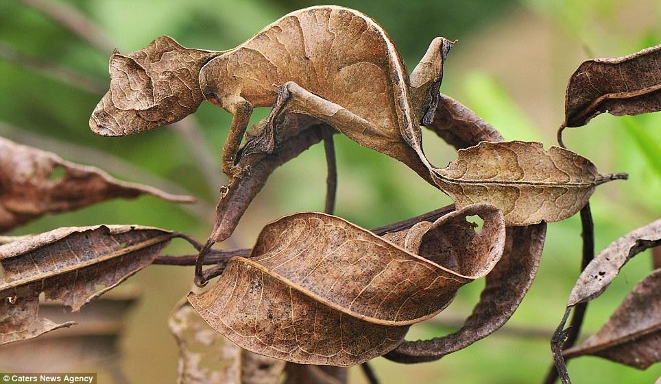 disguise masters 1 Мастера маскировки: сливающийся с листвой геккон и другие эксперты по природному камуфляжу
