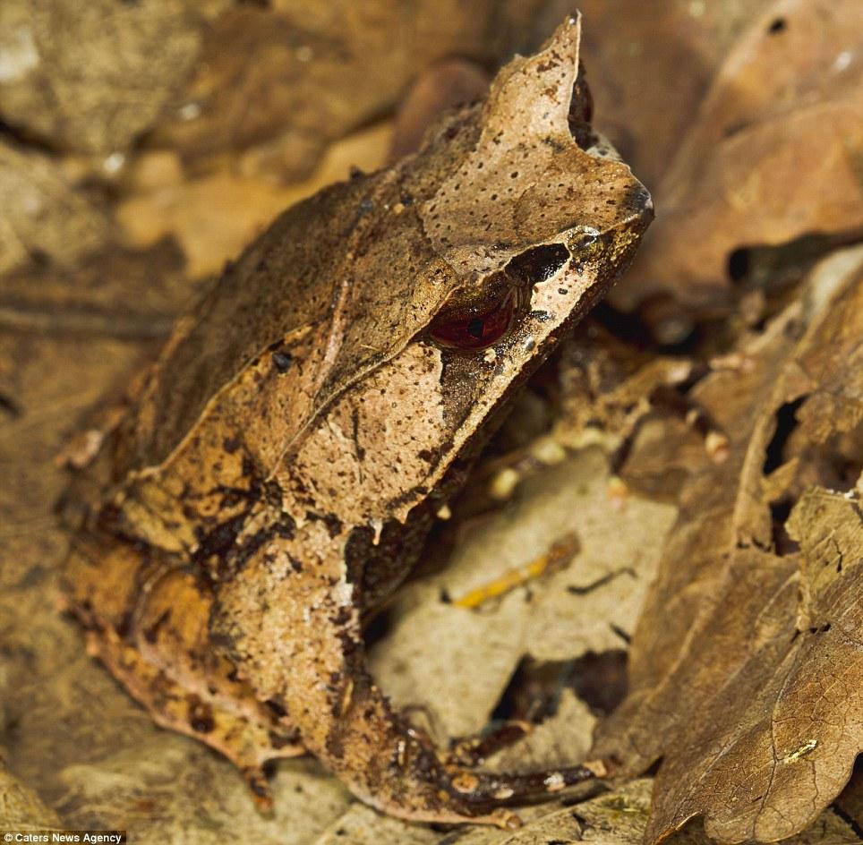 16 лиственная лягушка замаскировалась