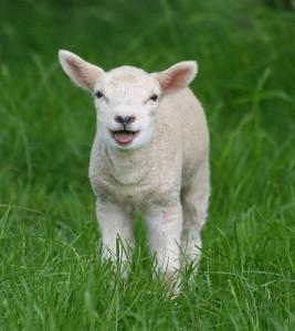 lamb 267x300 Американские фермеры настолько суровы, что кастрируют ягнят своими собственными зубами