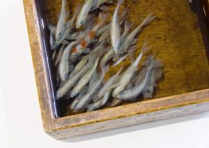Riusuke Fukahori 10 300x212 Трехмерные рыбки Рюске Факахойри