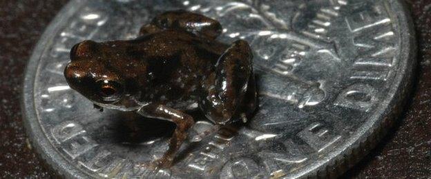 tiny frog 300x125 Самая