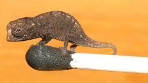 Brookesia micra 300x168 Немецкие биологи обнаружили микроскопический вид хамелеонов