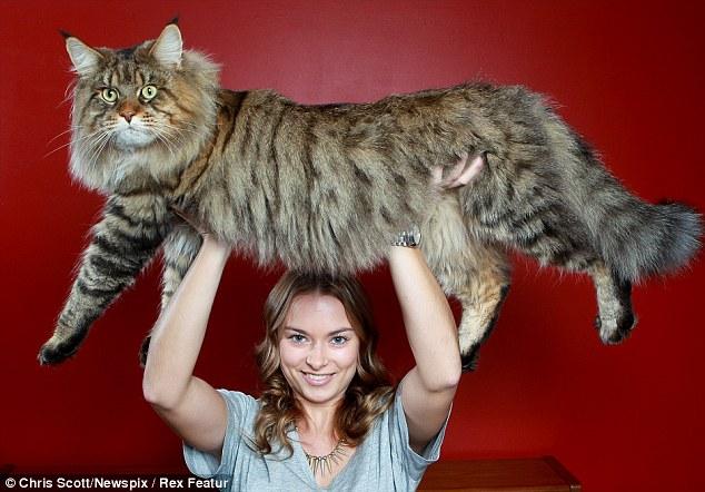 Rupert cat 1 Руперт: самый большой в мире кот