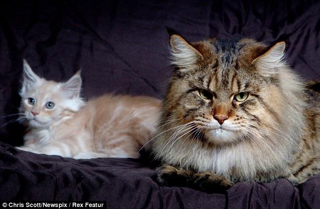 Rupert cat 3 Руперт: самый большой в мире кот