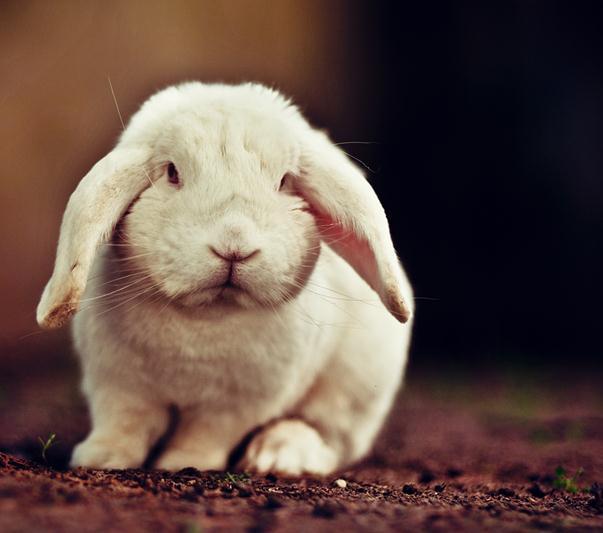 020913 1331 9 Поникшие уши кроликов